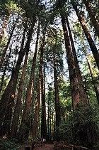 Muir Woods, sequoias gigantes