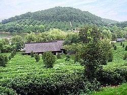 Hangzhou, plantación de té