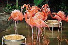 Jurong Bird Park, flamencos
