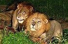 Leones en el Safari Nocturno