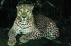 Leopardo en el Safari Nocturno
