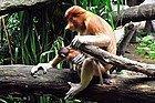 Zoo de Singapur, Mono narigudo