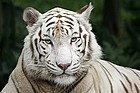 Tigre blanco en el Zoo de Singapur