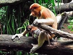 Los curiosos monos narigudos