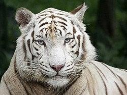 Tigres blancos, ¡preciosos!