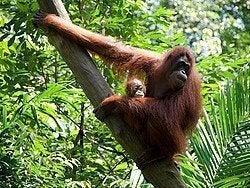 El orangután, una de las estrellas del parque