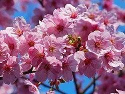 Primavera en Tokio, cerezos en flor