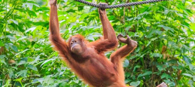 Crucero por Borneo con avistamiento de orangutanes