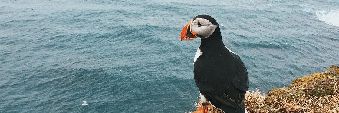 Avistamento de papagaios-do-mar na Islândia