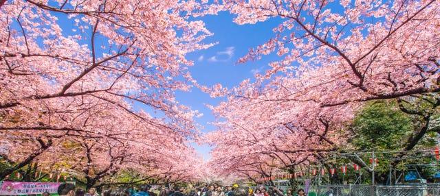 Cerezos en flor + Paseo en barco por el río Sumida