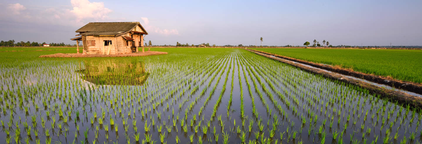 Sekinchan Rice Fields Day Trip