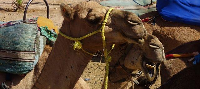 Passeio de camelo pelo palmeiral