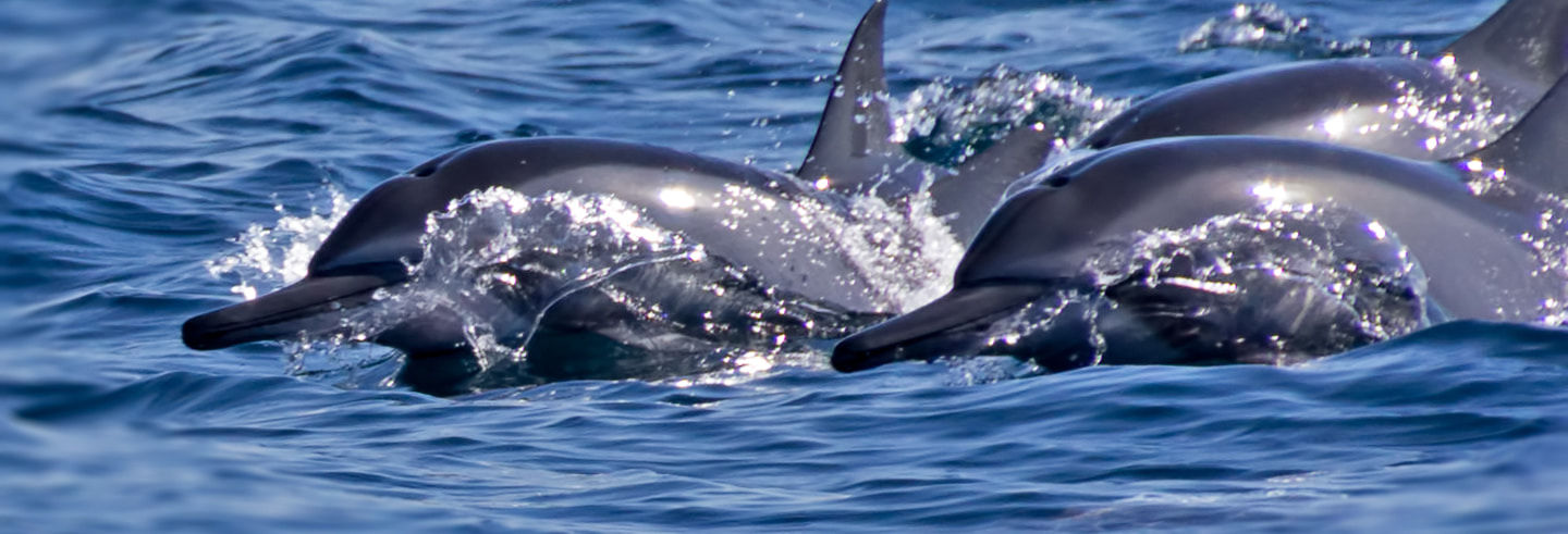 Dolphin Watching Cruise in Muscat