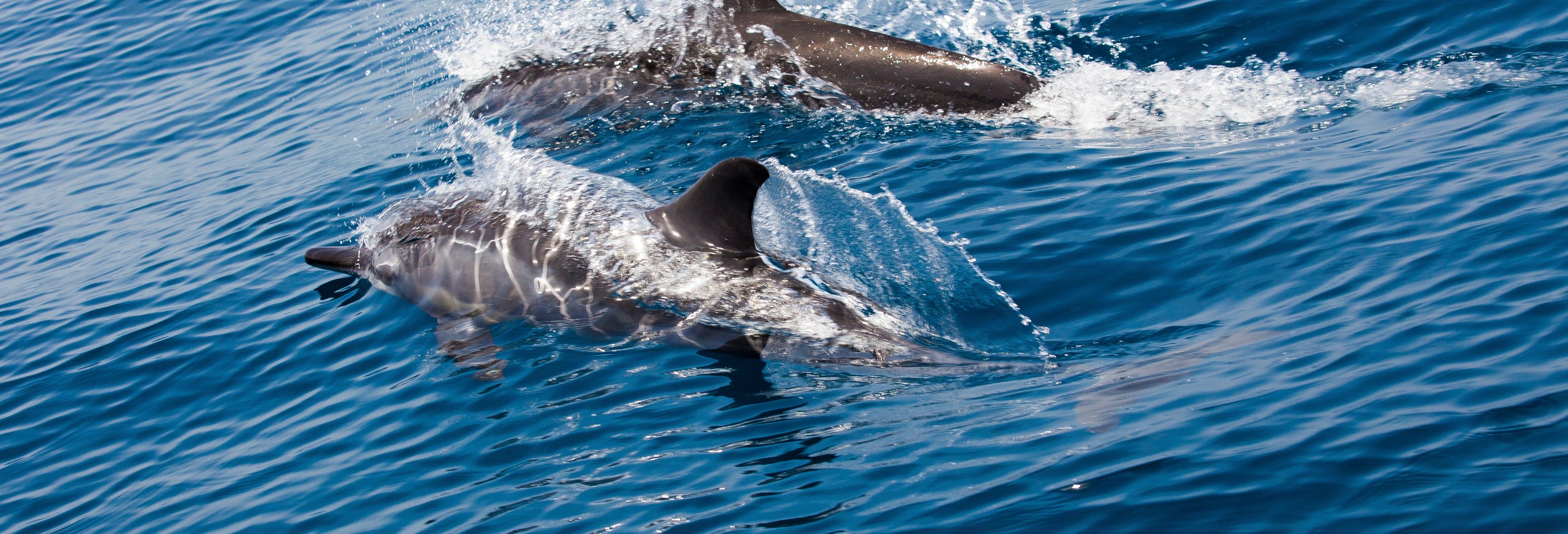 Avvistamento di delfini a Mascate