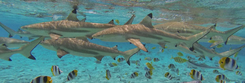 Jet ski + Snorkel com tubarões e arraias