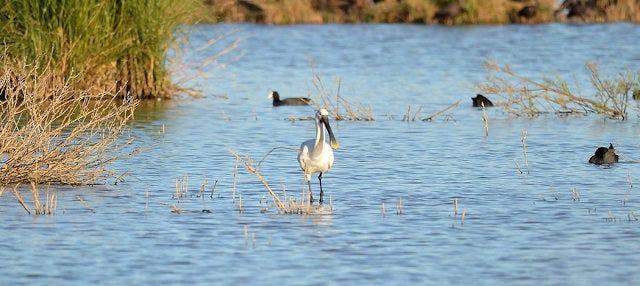 Avistamiento de aves en Lagoa dos Salgados