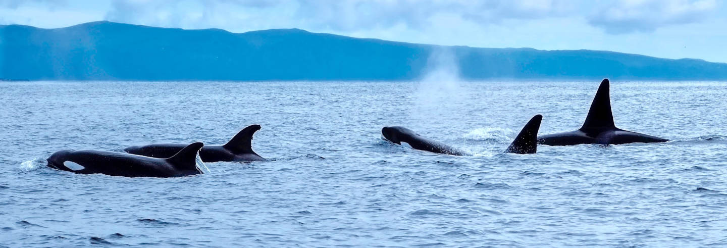 Whale Watching in Pico Island