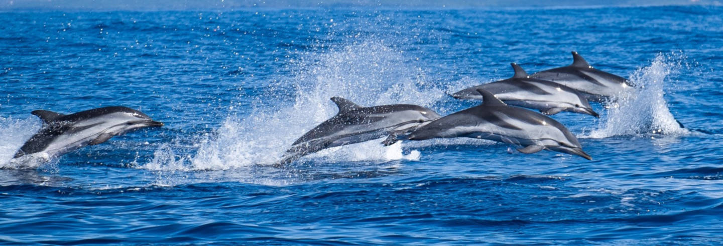 Swimming with Dolphins in Sao Miguel