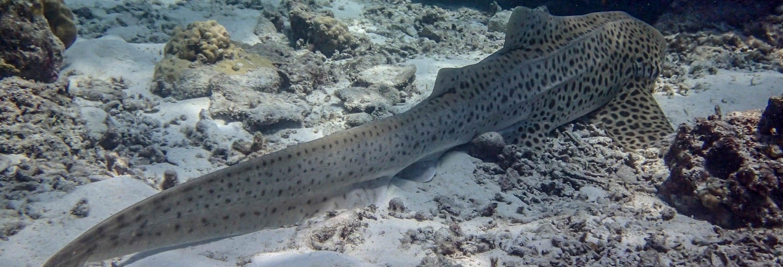 Buceo con tiburones en las islas Phi Phi